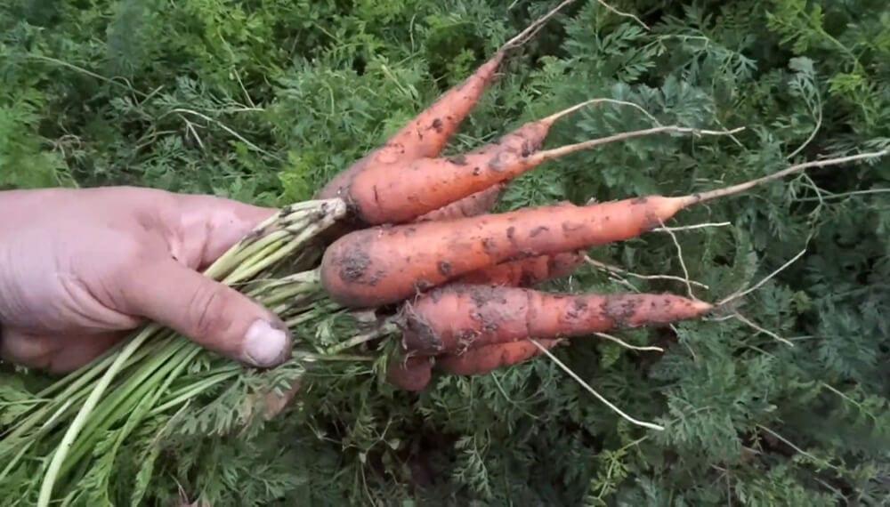 Año de las zanahorias en crecimiento: una estrategia para el éxito