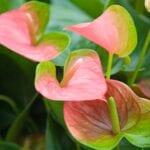 Cambio de color en anturios: ¿por qué mis flores de anturio se volvieron verdes?