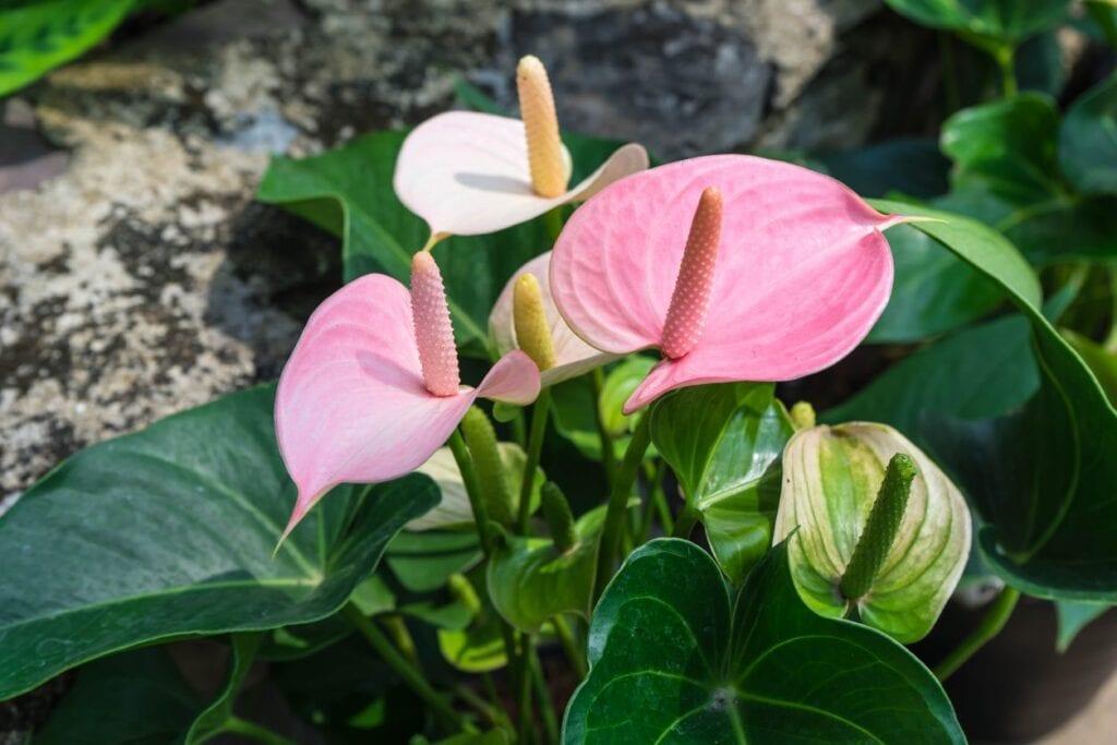 Cuidado de plantas de anturio al aire libre