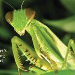Atraer mantis rezando: usar mantidas rezando para el control de plagas en los jardines