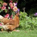 Mantenimiento de pollos para principiantes: beneficios de tener pollos en un jardín