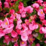 Propagación de Begonia: Rooting Begonias From Cuttings