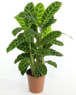 Calathea Zebra Plant Care - Consejos para cultivar cebra en interiores Plantas