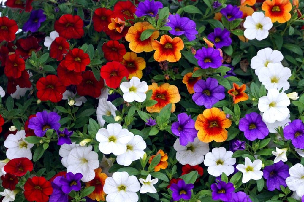 Cuidado de Calibrachoa: cómo crecer y cuidar a Million Bells Flower