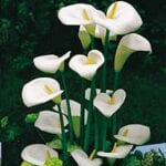 Calla Lily Flower Seeds - Consejos para el cultivo de semillas Calla Lilies