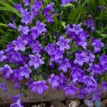 Campanula Bellflower Care - Condiciones para el crecimiento de Bellflowers