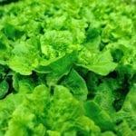 Carmona Lettuce Plant Care - Información sobre el cultivo de lechuga roja Carmona