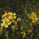 Información de Carolina Jessamine - Cuidado de las plantas de Carolina Jessamine