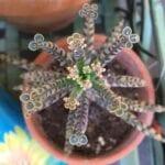 Chandelier Plant Care - Cómo cultivar Kalanchoe Delagoensis