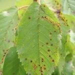 Tratamiento puntual de la hoja de cerezo: lo que causa manchas en las hojas de cerezo