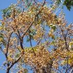 Usos de Chinaberry - Datos sobre el cultivo de árboles de Chinaberry