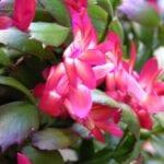 Christmas Cactus Bloom Cycle - Consejos para que las plantas de cactus navideños florezcan