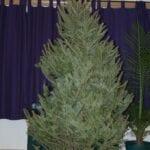 Cuidando un árbol de Navidad en vivo en su hogar