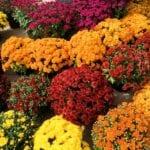 Fertilizante de crisantemo: cómo y cuándo fertilizar a las mamás