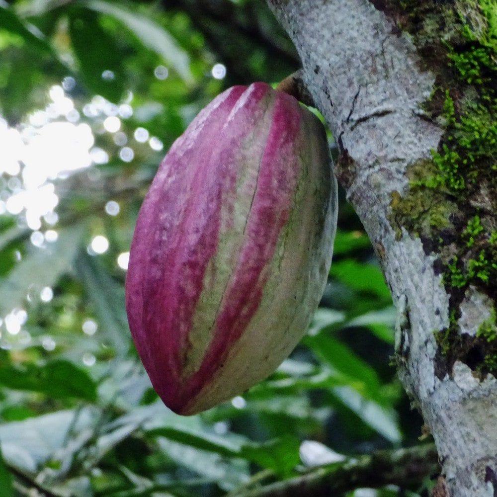 Información de la planta de cacao: aprenda sobre el cultivo de granos de cacao