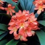 Colores de flores Clivia: qué hacer para diferentes colores de flores en Clivias