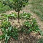 Cómo construir un gremio de árboles de frutas de permacultura