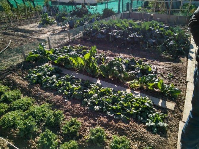 Cómo utilizar la plantación de sucesión para aumentar su cosecha