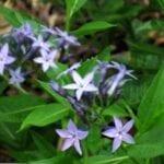 Condiciones de crecimiento de Amsonia: cómo cuidar las plantas con estrellas azules de Amsonia