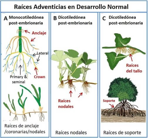 Crecimiento de raíces adventicias: información sobre plantas con raíces adventicias