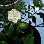 Cuidado de Gardenia interior: aprenda a cultivar un Gardenia en el interior