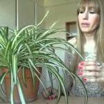 Cuidado de la hierba de cinta: cómo plantar plantas de hierba de cinta