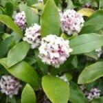 Cuidado de las plantas de Daphne: cómo cuidar las variedades de plantas de Daphne