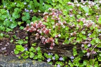 Cuidado de las plantas de Stonecrop inglesas