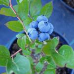 Cuidado de los arándanos: información sobre el cultivo de plantas de arándanos