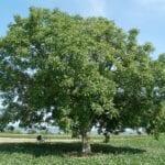 Cuidado de los árboles de nogal en el paisaje