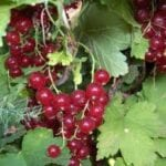 Cuidado de los arbustos de grosellas: consejos para cultivar grosellas en el jardín