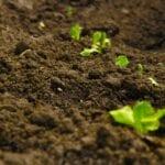 Cuidado de los guisantes de jardín: cómo y cuándo plantar guisantes