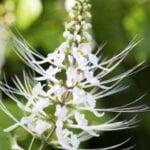 Cuidado de plantas de bigotes de gato: conozca la propagación de plantas de bigotes de gato