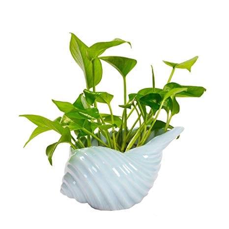 Cuidado de plantas de hierro fundido: consejos para cultivar plantas de hierro fundido