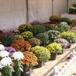 Cuidado del crisantemo: consejos para madres en crecimiento en el jardín