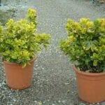 Cuidando los arbustos dorados de Euonymus