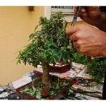 Cuidando sus primeras plantas bonsai