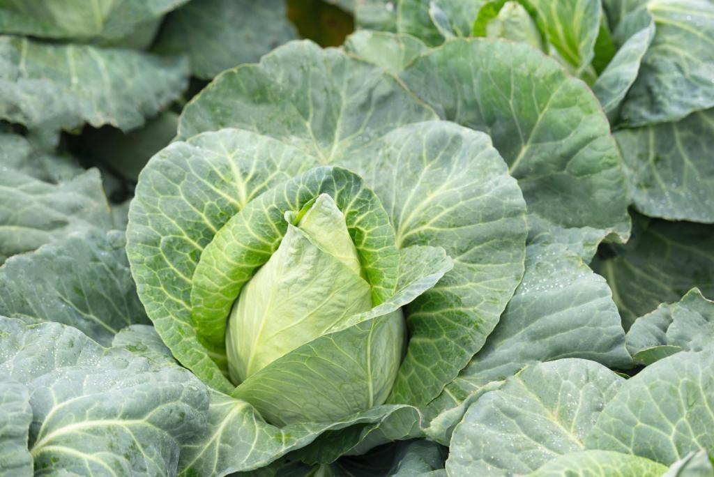 Cultivo de col híbrida Caraflex - Plantación de semillas de col Caraflex