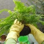 Boston Fern Shoots - Consejos para dividir plantas y corredores de helecho de Boston