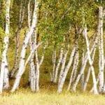 El mejor momento para podar árboles de abedul