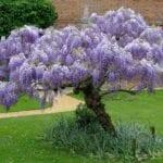 Elección de árboles con flores para jardines de la zona 6
