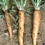 Enfermedades comunes de la zanahoria: consejos sobre cómo tratar problemas para cultivar zanahorias