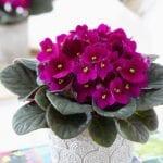Enfermedades fúngicas violetas africanas: signos de la plaga de botrytis de las violetas africanas