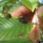 Escarabajos exploradores avanzados en jardines