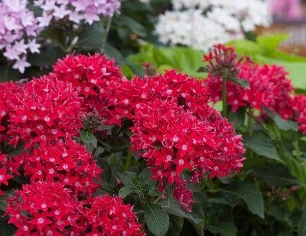 Flores perennes tolerantes al frío - Perennes en crecimiento en los estados del centro norte