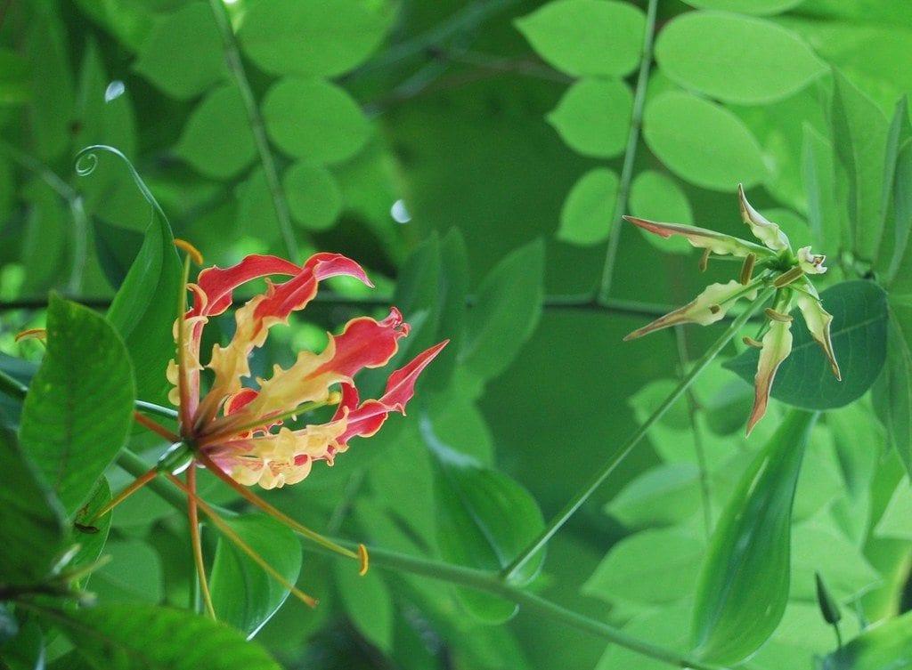 Climbing Lily Care - Cómo cultivar lirios Gloriosa