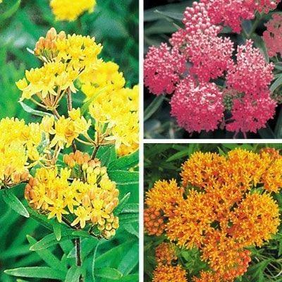 Hechos fascinantes sobre Milkweed y los insectos que atrae