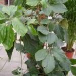 Houseplant de vid de castaño - Cómo cultivar vides de castaño de tetrastigma