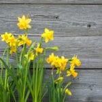 Cuidado de narcisos - Plantación de narcisos en el jardín