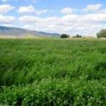 Información austriaca sobre guisantes de invierno: aprenda a cultivar guisantes de invierno austriacos